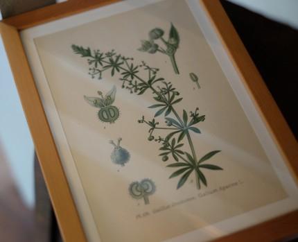 ボタニカルアート 植物図のリトグラフ